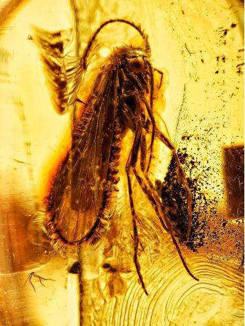 Уникальное золотое кольцо «Клио» из янтаря с крупным инклюзом насекомого 17, Размер кольца: 17, фото , изображение 2